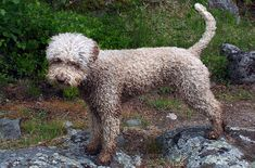 Don't let their curly, clown-like appearance fool you. The Lagotto Romagnolo (pronounced La-go-toh Roman-yolo) is a dog with a rich history behind it and is one of Italy's oldest known dog breeds.