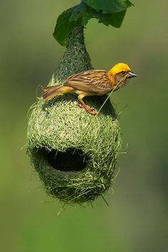 Male Baya Weaver - Unusual birdnest... for an AMAZING CREATOR N CRITTERS album song - http://dianadeeosbornesongs.com/Albums.php - How the 100s of designs within just 5 square miles shows a Designer, by statistics does not support the chance of Evolution.