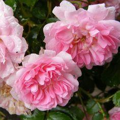 Rosa 'Pablito' - Rosier paysager couvre-sol rose - Rosier nain à fleurs doubles