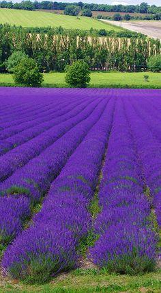 Lavender Farm Shoreham. Kent, England