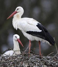 """Stork.            (""""#störche #stork #ooievaar."""")"""
