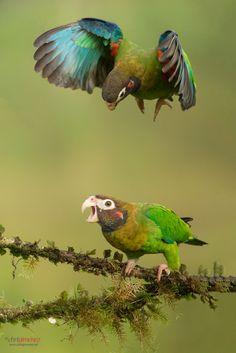 Brown-hooded Parrot (Pyrilia haematotis) in flight by Chris Jimenez on 500px