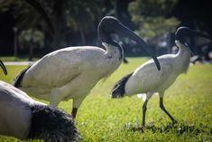 Is Taronga Zoo responsible for Sydney's prolific ibis population? Australian Animals, Pet Birds, Crafts, Manualidades, Handmade Crafts, Craft, Arts And Crafts, Artesanato, Handicraft