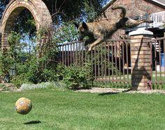 Dutch Shepherd jumping
