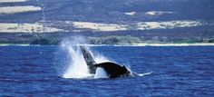 I would love to plan a Lana'i, #Hawaii trip between December to May, when the humpback whales call Hawaii home. Migrating from the gulf of Alaska to Hawaii over two short months, they breed and birth in the islands' warm and shallow waters.