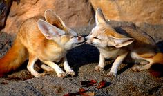 Fennec Fox. desert animals who ears are big for two reasons. To dissipate heat and to hear their prey.
