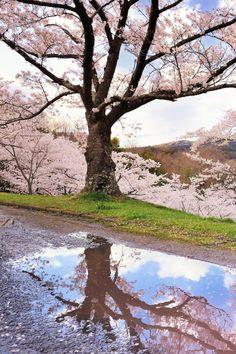 Sakura, reflection, Japan