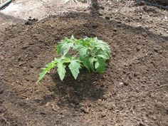 Planting tomatoes - the science behind this method of for strong healthy tomatoes.