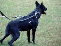 Black Belgian Malinois Female in Tar Heel, North Carolina - dream team kennels Belgian Malinois For Sale, Black Belgian Malinois, Military Working Dogs, Military Dogs, Police Dogs, War Dogs, Service Dogs, Dream Team, Horses