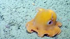 The Dumbo Octopus is one of the deepest living sea creature in existence, living up to into the deep ocean. They move by flapping their ear-like fins and using their arms to steer. Dumbo Octopus, Baby Octopus, Cute Octopus, Octopus Tank, Weird Sea Creatures, Ocean Creatures, Types Of Octopus, Mimic Octopus, Flapjack Octopus