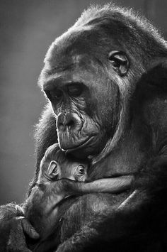 10 Most Loving Mothers In The Animal Kingdom That Will Warm Your Heart - Animals Cute Baby Animals, Animals And Pets, Funny Animals, Wild Animals, Strange Animals, Nature Animals, Primates, Animals Tattoo, Baby Gorillas