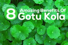 Gotu Kola is a small herbaceous plant that grows in swampy areas. Used as a herbal medication, it offers many benefits for skin, hair & health. Read to know. Gotu Kola Benefits, Centella, Ayurvedic Medicine, Hair Health, Side Effects, Natural Healing, Beauty Secrets, Healthy Hair, Natural Remedies