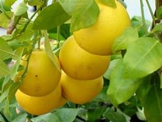 Lemons And Limes Edible Landscaping With Charlie Nardozzi National Gardening Ociation