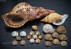 Newly arrived shells! (Seashells, tree snails, land snails) - Species list:  More new shells! • Charonia variegata • Neptunea contraria  • Polymita muscarum • Polymita brocheri ovandoi • Iberus campesinus • Iberus gualtieranus • Iberus cobosi • Iberus marmoratus • Iberus loxanus • Iberus ornatissimus • Iberus mariae • Iberus calaensis • Iberus alonensis • Sphincterochila candidissima  Gabriel Paladino collection