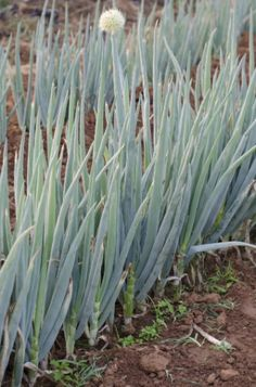 A cebolinha (Allium fistulosum) é uma erva aromática de bulbos brancos e alongados e folhas verdes, compridas e cilíndricas, que chegam a 40 cm de altura e facilmente se alastra nos canteiros. Resistente, aguenta períodos de frio ou calor mais intensos e sua poda é feita por extração do bulbo ou corte das folhas na altura da base, para que cresçam novamente. O replantio é simples, por sementes ou divisão de touceiras, assim como o capim-limão ou o alecrim. Para o plantio comum, associe-a ...