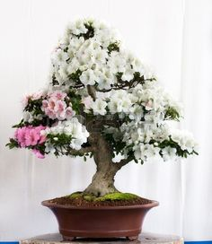 Rhododendron indicum bonsai in a pot Stock Photo
