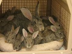 Giant Moma and Babies is an adoptable Flemish Giant Rabbit in Baltimore, MD. LOOK what we have! A mother Giant Chinchilla rabbit with 11 five week old babies from a hoarder situation. The father is a ...