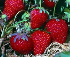 Allstar Strawberry  A top-performing variety! This easy-care plant is highly disease-resistant, cold hardy, and very vigorous, giving you crops of large, glossy, firm berries with an exceptionally sweet taste and that perfect strawberry shape. You'll want to plant plenty of extras for freezing or making preserves. Ripens in June. Self-pollinating. Pkg. of 25 plants.