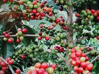How to grow your own coffee...and where to get the beans