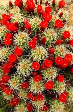 Cacti in bloom.My G'ma didn't appreciate cactus, but I do. The blooms of various cacti are beautiful. Desert Flowers, Desert Plants, Beautiful Flowers, Red Flowers, Water Flowers, Hibiscus Flowers, Exotic Flowers, Yellow Roses, Pink Roses