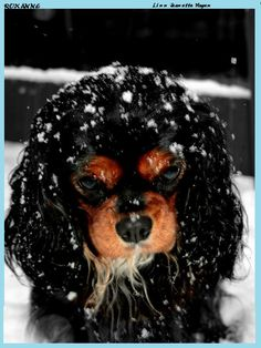 Cavalier King Charles Spaniel - Black & Tan. VAll Cavaliers love winter and tolerate the cold very well. Although after playing outside, they love nothing more than playing and cuddling inside with their favorite people.