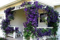 "This ""Clematis Porch"" was created by Debbie Schinker. It's actually 3 separate clematis plants and has taken many years to train the vines to go up that far. Climbing Clematis, Clematis Plants, Clematis Vine, Flowers Perennials, Purple Clematis, Climbing Flowers, Garden Plants, Autumn Clematis, House Plants"
