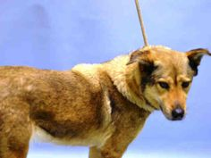 Brooklyn Center BAISLEY – A1082328 FEMALE, BROWN, GERM SHEPHERD MIX, 4 yrs STRAY – STRAY WAIT, NO HOLD Reason STRAY Intake condition UNSPECIFIE Intake Date 07/23/2016, From NY 11434, DueOut Date 07/26/2016,