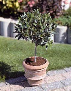 ch vrefeuille sur tige google 39 da ara b tk plant pinterest chevrefeuille tiges et jardins. Black Bedroom Furniture Sets. Home Design Ideas