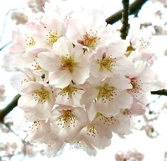 Find images and videos about flower, sakura and cherry blossom on We Heart It - the app to get lost in what you love. Cherry Flower, Sakura Cherry Blossom, Cherry Tree, Sakura Sakura, Cherry Blossoms, Blossom Trees, Spring Blossom, Green Garden, Amazing Flowers