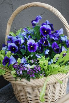 beautiful basket of purple pansies.... I love pansies , one of my favorite flowers to plant since they still blown in the winter.. so pretty...                                                                                                                                                     Mais