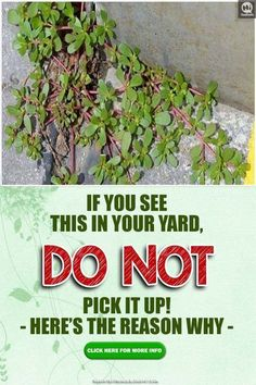 Survival tip know how to identify these edible plants to ensure safety. Discovering the value of edible plants for nutrition is also a good idea. Herbal Remedies, Health Remedies, Home Remedies, Natural Remedies, Healing Herbs, Medicinal Plants, Natural Healing, Poisonous Plants, Natural Medicine