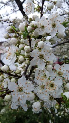 Apricot Blossom, Peach Blossoms, Early Spring, Spring Time, How Beautiful, Beautiful Flowers, Birthday Wishes Flowers, Cherry Flower, Blooming Trees