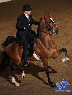 American Saddlebred horse - named Heir To the Prince - Park Gelding