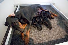 Litter of doberman puppies due around Christmas!