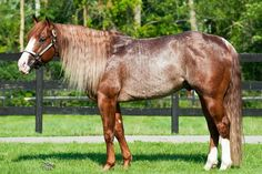 Quarter Horse stallion Smart Chic Olena