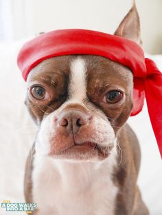 senior Boston Terrier wearing red headband, ©️️A Dog Walks Into A Bar