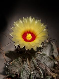 Astrophytum capricorne var. major