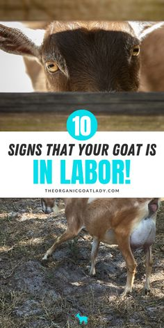 Do you raise goats? Goats are an important part of any homestead. But when it comes to delivering baby goats are you ready? Do you know what to look for? These are 10 signs to look for that will tell you if your goat is in labor! Types Of Goats, Goat Care, Raising Goats, Delivering A Baby, Baby Goats, Farms Living, Country Farm, Chickens Backyard, Homesteading