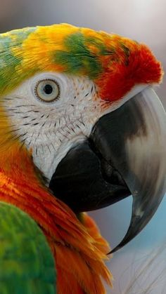 -You can find Exotic birds and more on our website. Tropical Birds, Exotic Birds, Colorful Birds, Exotic Pets, Pretty Birds, Beautiful Birds, Animals Beautiful, Animals And Pets, Cute Animals