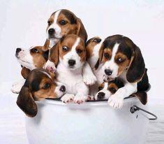 Wait for it......A BUCKET OF BEAGLES!!!  Wheeeeeee!!  Best thing ever! ;) <3 #Beagles #BucketOfBeagles