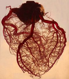 Veins of the human heart...