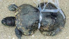 Especial |Día Mundial del Mar pone a flote la insensatez humana. Para el 2050 se estima que en los mares habrá más plásticos que peces. Cifras de la ONU revelan que más de 8 toneladas de este derivado del petróleo son vertidas a los océanos cada año pero aún la batalla por la contaminación sigue.