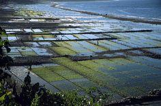 Alga Plantations, Nusa Penida, Indonesia