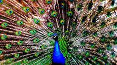 Peacock Wallpaper, Hd Wallpaper, Peacock Photos, Hd Widescreen Wallpapers, Nature Animals, Curtains, Bird, Beautiful, Peacocks