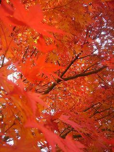 Red Leaves in Agano SA, Niigata Japan  [MAP by ALPSLAB]|Red Leaves in Niigata by shinyai, via Flickr