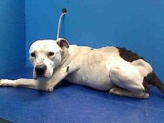 BUSHWICK is an adoptable Pit Bull Terrier Dog in Brooklyn, NY.  ...