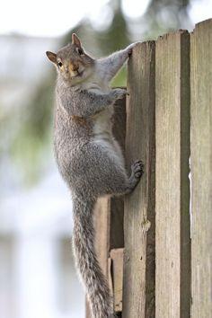 Eastern gray squirrel 50 by EasternGraySquirrel