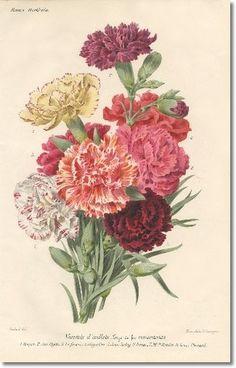 Revue Horticol - Botanical Prints - Illustrated Book Plate Illustration from Revue Horticole 1800s - Botanical Print - 09 - CARNATION Painti...