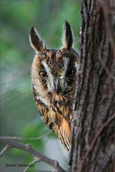 hermoso largas de pavo orejas lindo Búho pequeño xpzIqqW