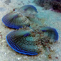 The flying gurnards are a family, Dactylopteridae, of marine fish notable for their greatly enlarged pectoral fins. As they cannot literally fly, an alternative name preferred by some authors is helmet gurnards. by Alcides Dutra